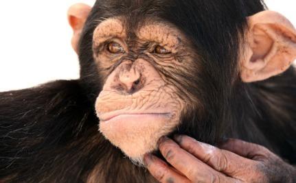 شامپانزه متفکر